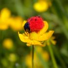 DIY Pompom Ladybug
